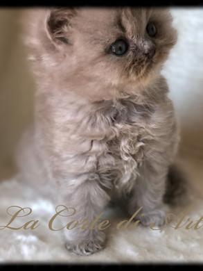 Zefiro - maschietto lilac Longhair