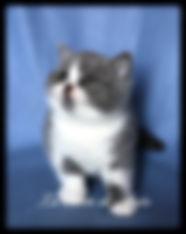 Cucciolo British bicolore.JPEG