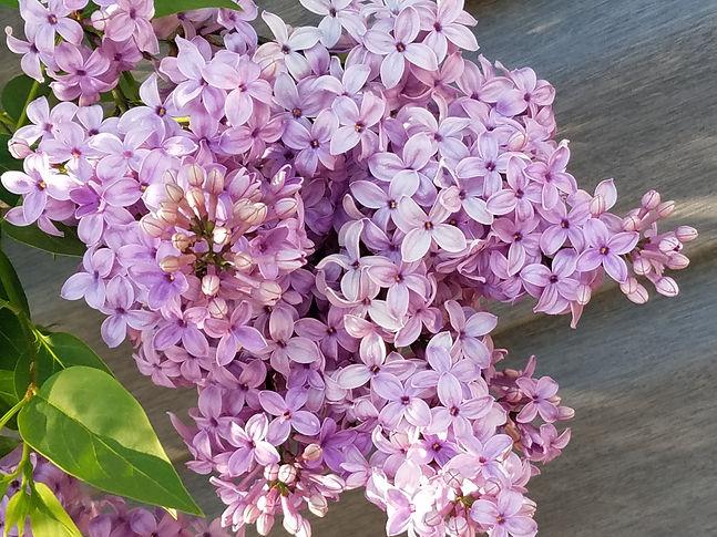Lilacs by C Cogar.jpg