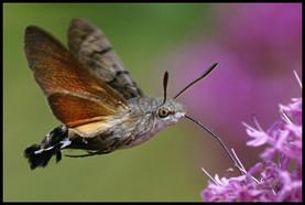 Jasper The Humming Moth Messenger