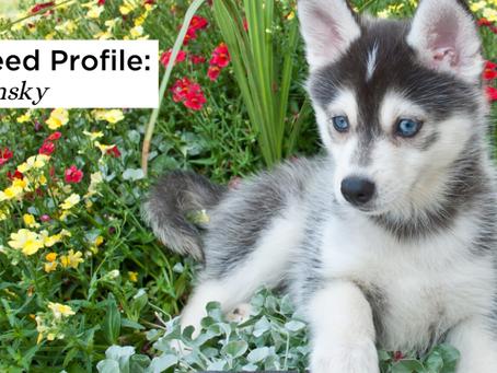Getting to Know the Pomsky: The Pomeranian Husky