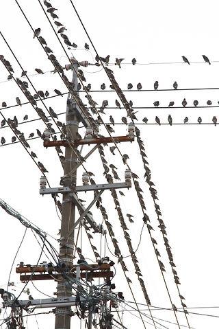 電柱の鳥(伝農アシスト(株)).jpg