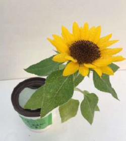 Magcup_flwer_sunflower_example_dennouass