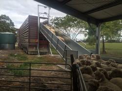 Sheep Loading Ramp