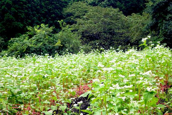 蕎麦の花.jpg