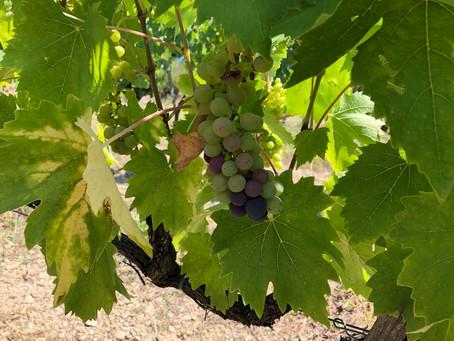 The Farm Shop That Makes a 98 Point Wine… Villa i Cipressi