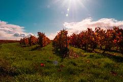 Vignes sous le soleil d'automne