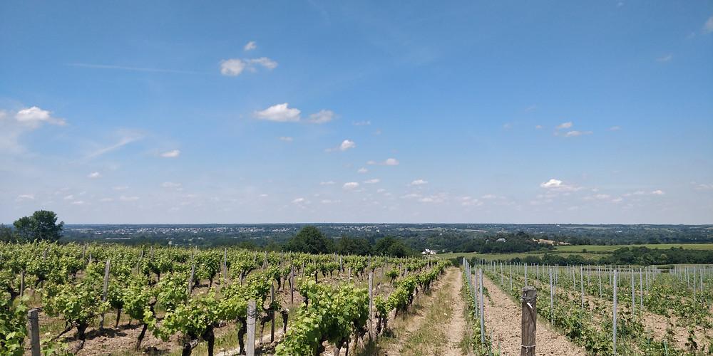 Les vignes du Coteaux-du-Layon post-confinement