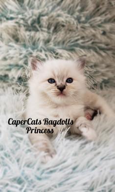 CaperCats Ragdoll