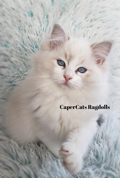 Blue Lynx Bi-Colour Ragdoll Kitten