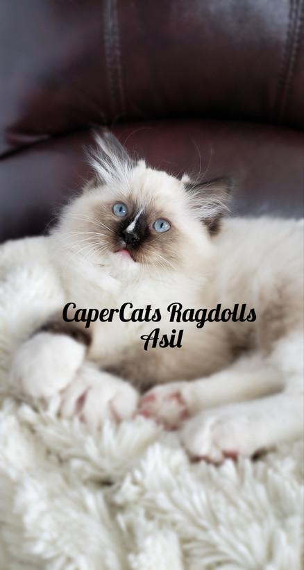 Seal Mitted Male Ragdoll Kitten