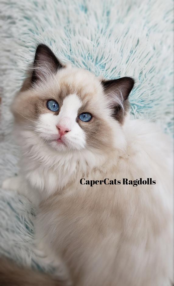 Seal Bi-Colour Ragdoll Kitten