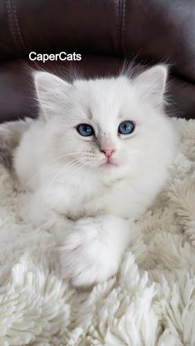 CaperCats Ragdoll Kittens