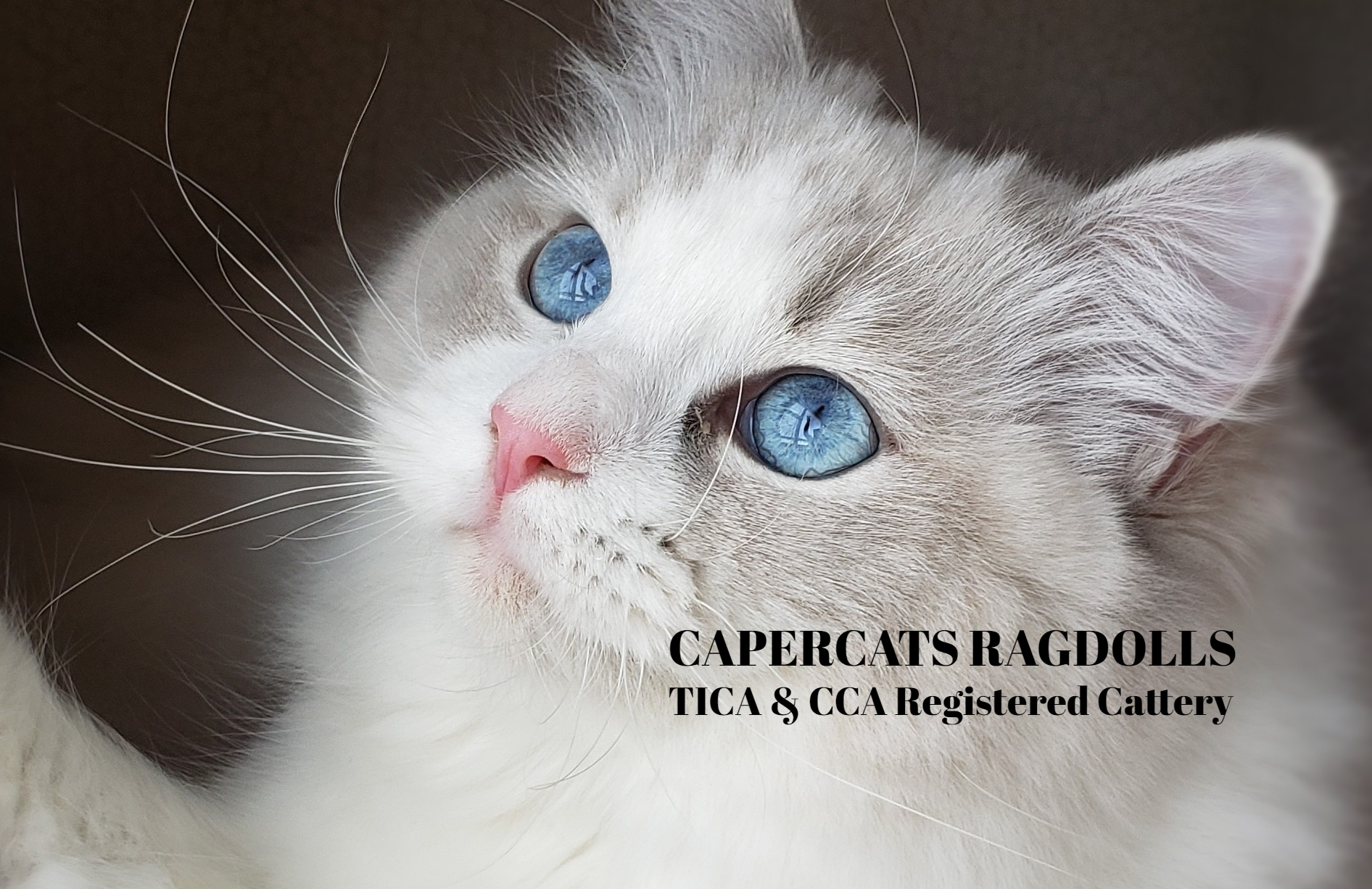 CaperCats Cotton Candy Ragdoll Cat