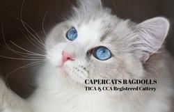 CaperCats Cotton Candy Ragdoll Cat