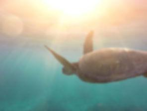 sea-turtle_0000_StockSnap_7OWIFABNKR-380