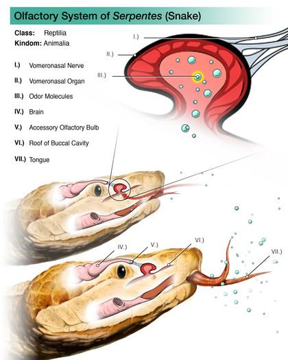 Olfactory System of Snake