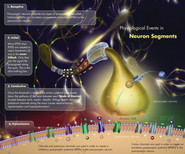 Physiological Events of a motor neuron