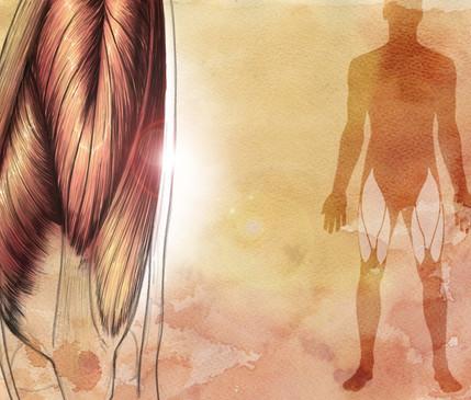 Quadriceps Femoris