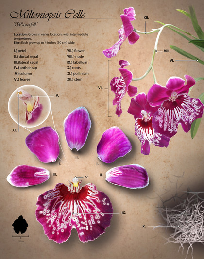 Botanical plate of Orchid