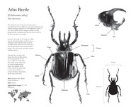 Atlas Beetle Carbomn Dust illustratoion