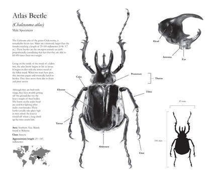 Atlas Beetle Carbomn Dust illustratoion