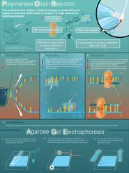 Polymerase Chain Reaction and Agarose Gel Electrophoresis