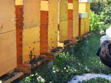 Pčele OPG Komparak Korcula