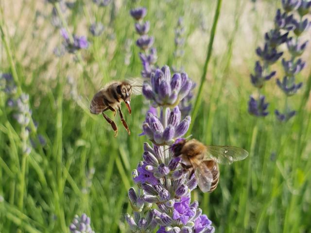 pčele u lavandi