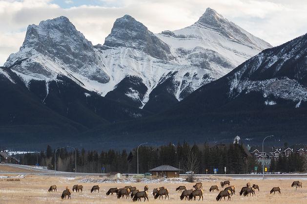 Elk Herd Grazing