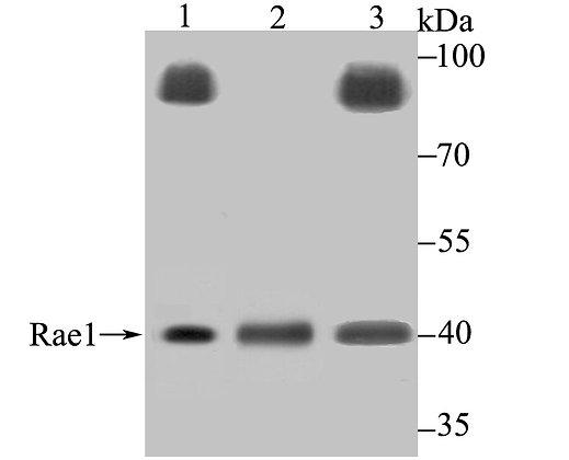 Rae1 Rabbit polyclonal Antibody IgG