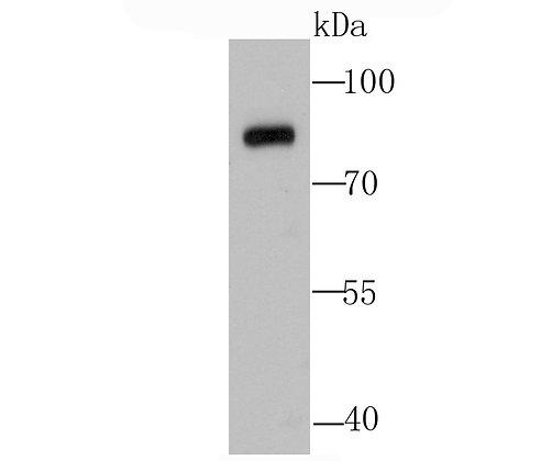 Calpain 1 Rabbit polyclonal Antibody IgG