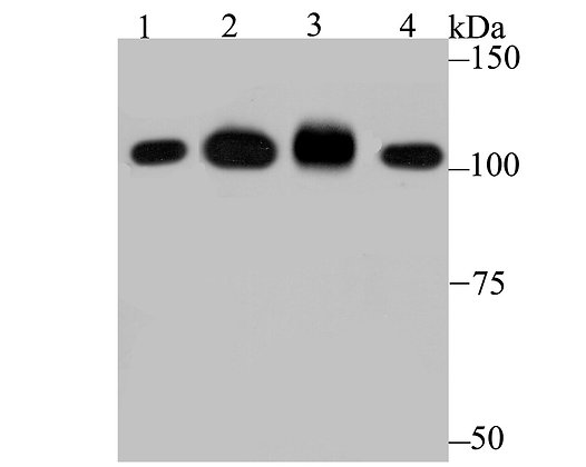 SFPQ Recombinant Rabbit monoclonal Antibody IgG