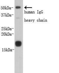 Prealbumin PA Rabbit polyclonal Antibody IgG