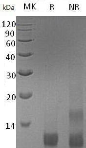 Recombinant Human LongIGF-II