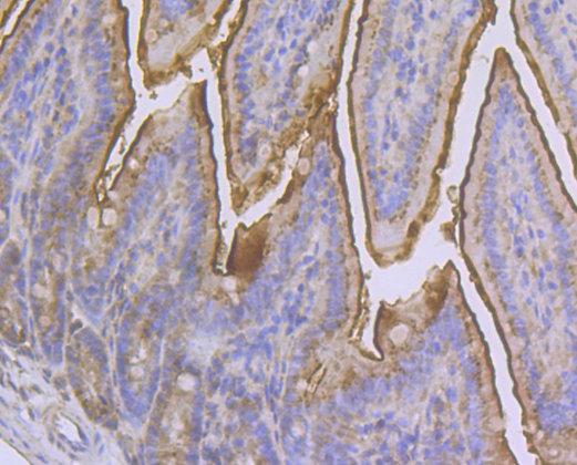 CD13 Rabbit polyclonal Antibody IgG