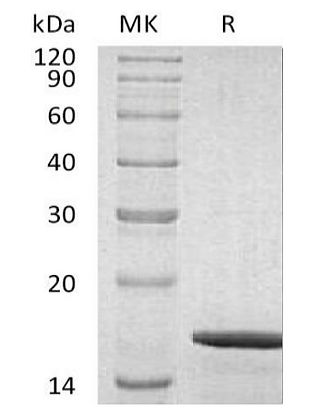Recombinant Human Glial Cell Line-Derived Neurotrophic Factor/GDNF