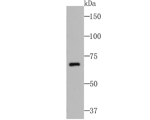 CUB domain-containing protein 1 Mouse monoclonal Antibody IgG1
