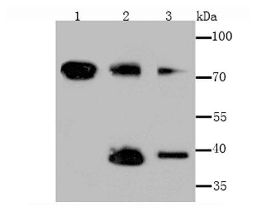 Tim3 Rabbit polyclonal Antibody IgG