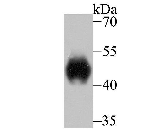 LRG1 Recombinant Rabbit monoclonal Antibody IgG