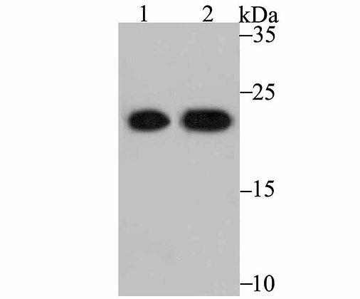 PRDX2 Mouse monoclonal Antibody IgG1