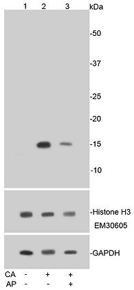 Phospho-Histone H3 (S10) Recombinant Rabbit monoclonal Antibody IgG