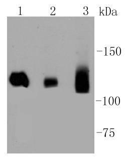 Dnmt3a Recombinant Rabbit monoclonal Antibody IgG