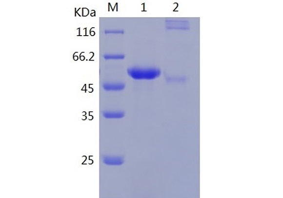 Recombinant Human Haptoglobin/Zonulin (C-His)