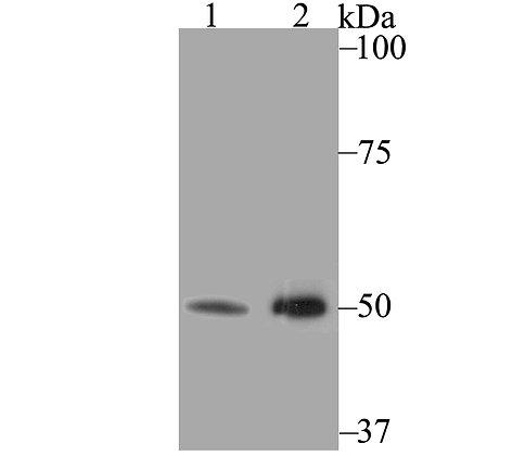 K2P4.1 Rabbit polyclonal Antibody IgG