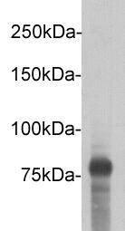 DYKDDDDK Tag (FLAG) Rabbit polyclonal Antibody IgG