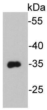 VSV-G-tag Mouse monoclonal Antibody IgG1