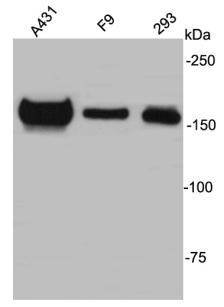 ZO2 Rabbit polyclonal Antibody IgG