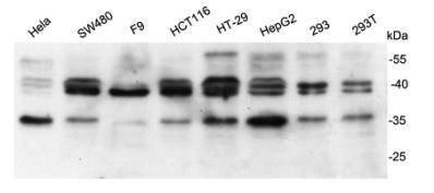 Bag1 Rabbit polyclonal Antibody IgG