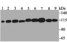 RNF40 Recombinant Rabbit monoclonal Antibody IgG